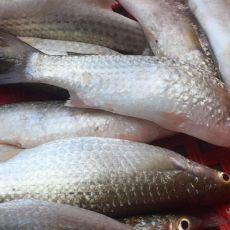 Cá đối tự nhiên sinh thái
